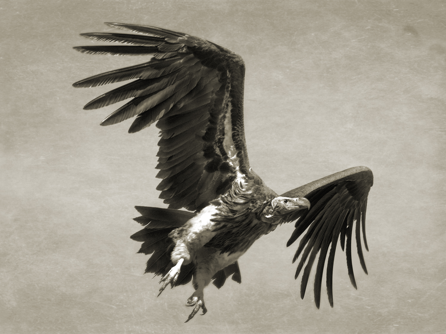 LAPPET-FACED VULTURE FLYING.jpg