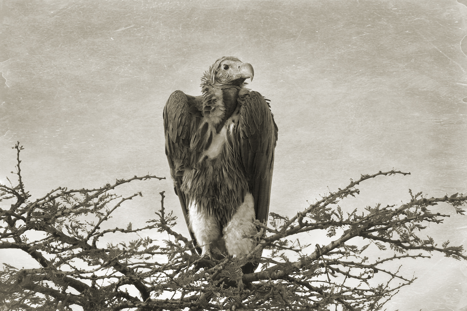 LAPPET-FACED VULTURE IN TREE.jpg
