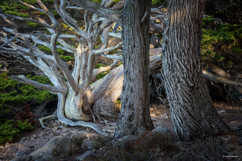 Pt+Lobos+Cypress+Tree-2+copy.jpg