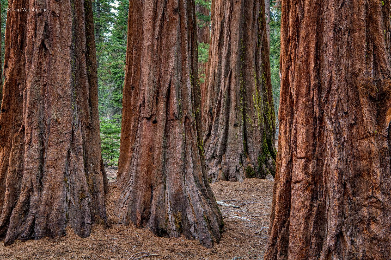 Redwoods_DSC9414+copy.jpg