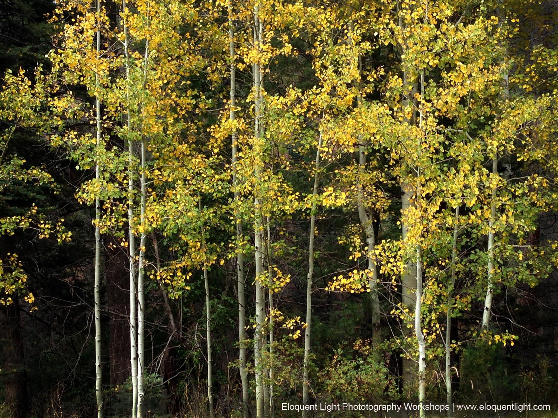 Aspens-Autumn-Sangre de Criston Mountains.jpg