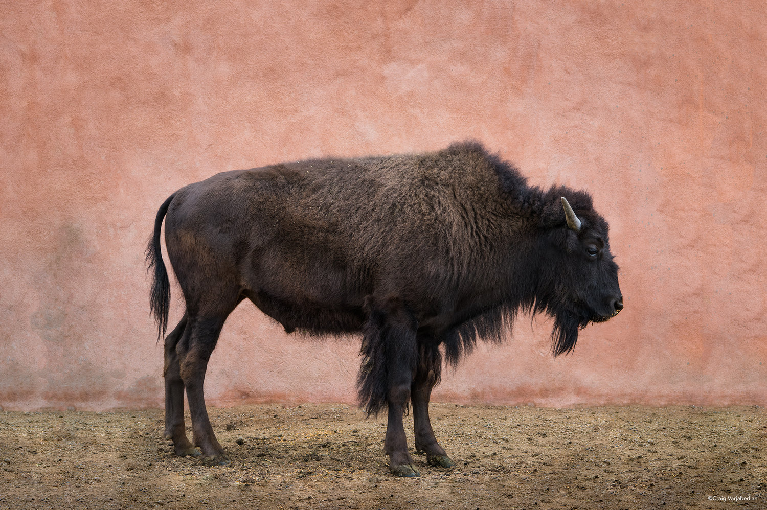 Clyde-the-bison-in-Santa-Fe.jpg