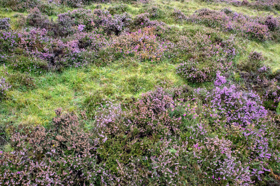 SCOTTISH HEATHER EVERYWHERE. MADE MY HEART FLUTTER IN ALL CAPS!