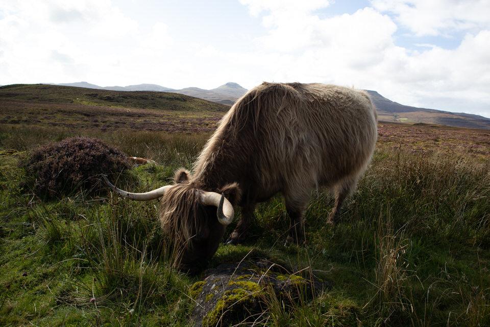 Heeland Coo - AKA a Highland Cow!