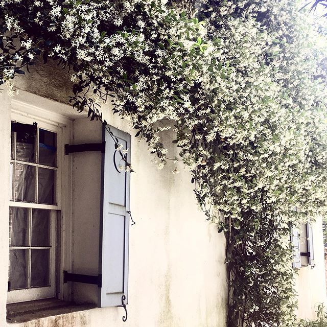 Can you smell it through the screen? 🌱 . . . . . . . . #charlestoncharm #charlestonblogger #southerncharm #jasmine #flowerstagram #mytinyatlas #cottage #explorecharleston #missfunctionalmoney