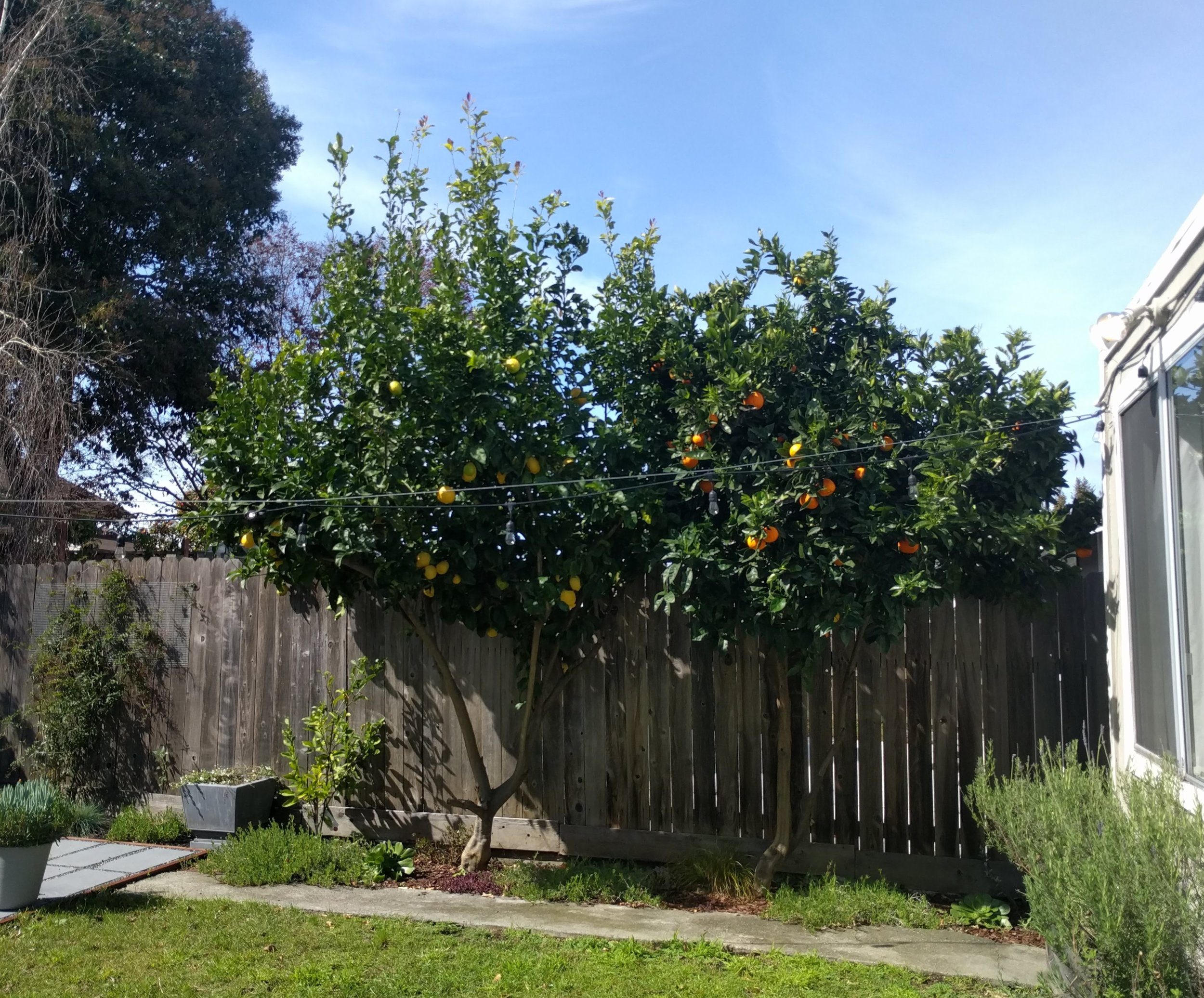 Mature citrus trees in the back garden of Doug Fuller's beautifully renovated bungalow listing at  875 45th Street  in NOBE.