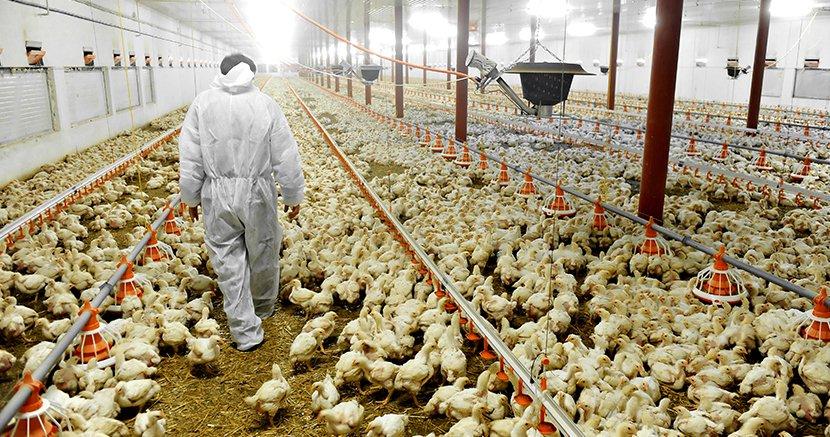 web_1708_chicken-factory-farm-media.jpg