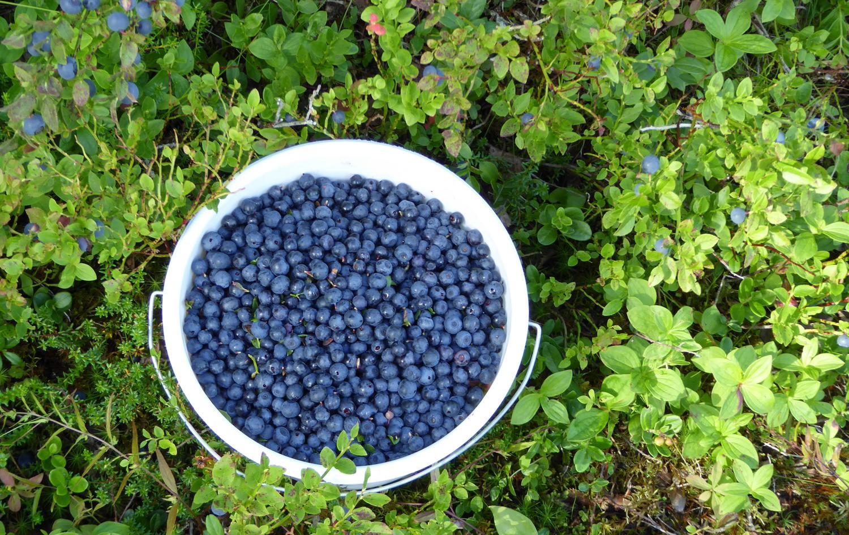 blåbær.JPG
