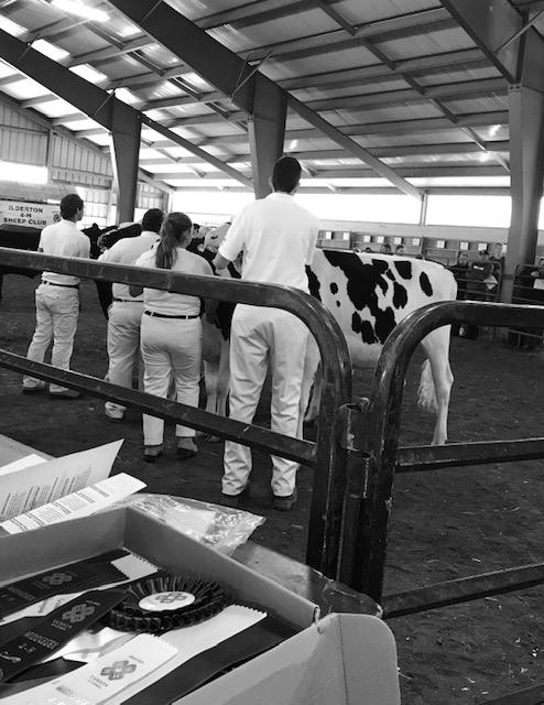Cattle judging at the Ilderton Fall Fair