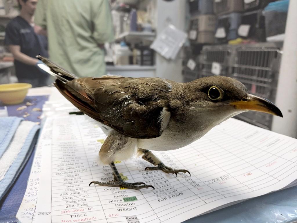 Yellow-billed Cuckoo at the Wild Bird Fund © Antonio Sanchez