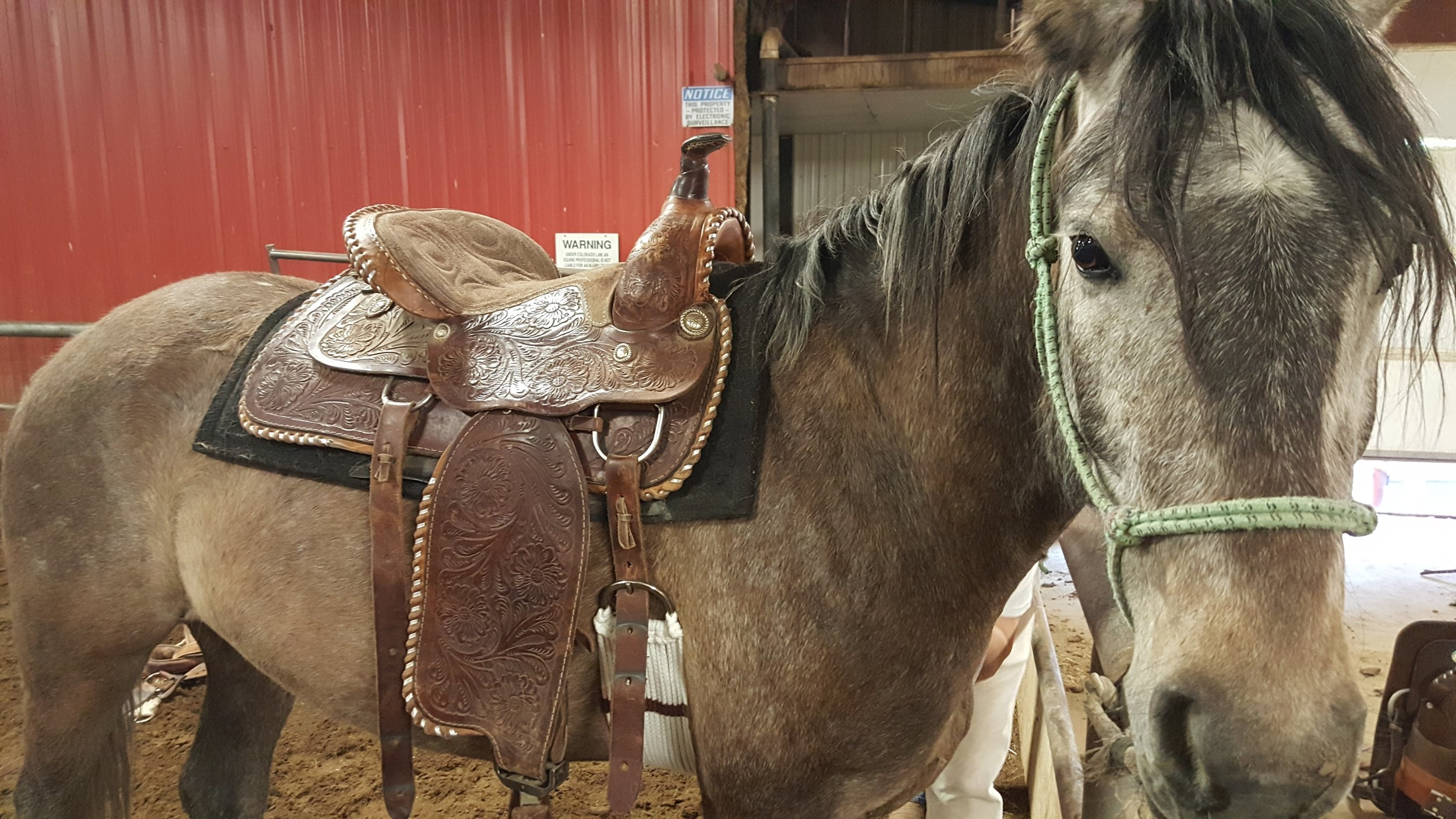 """Here's one of Westernaires'rental string horses -- """"Rolo"""" -- in his (refurbished) new saddle."""