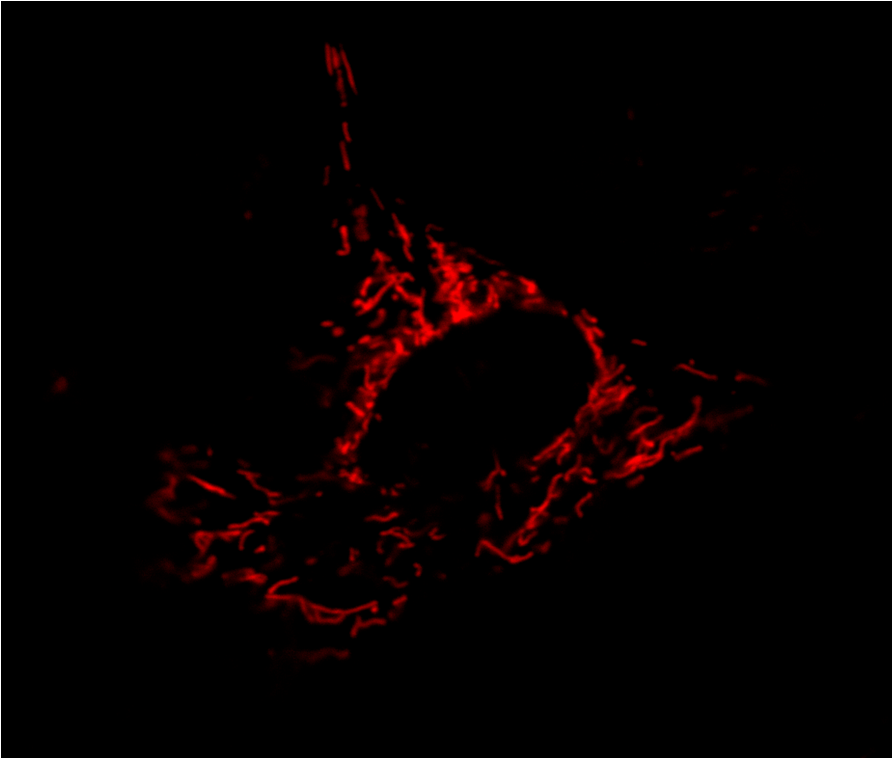 Staining of mitochondria within a dendritic cell using MitoTracker Red. We are interested in how mitochondria and metabolism within macrophages and dendritic cells change across the day