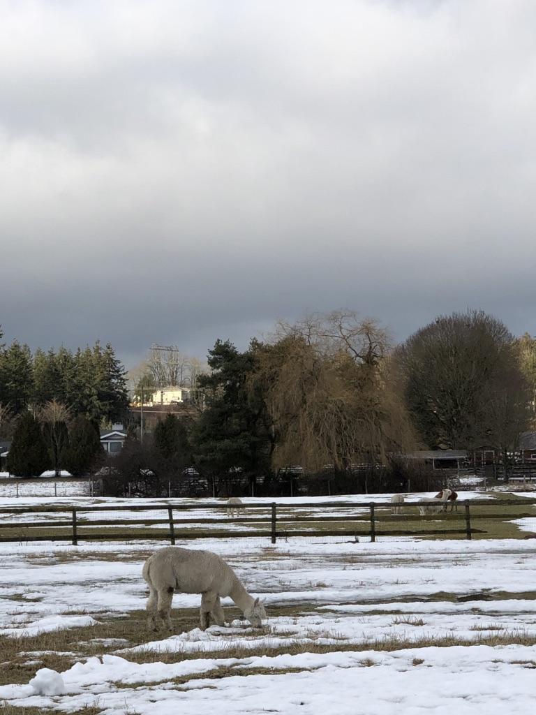 An alpaca busy munching away on frosty grass