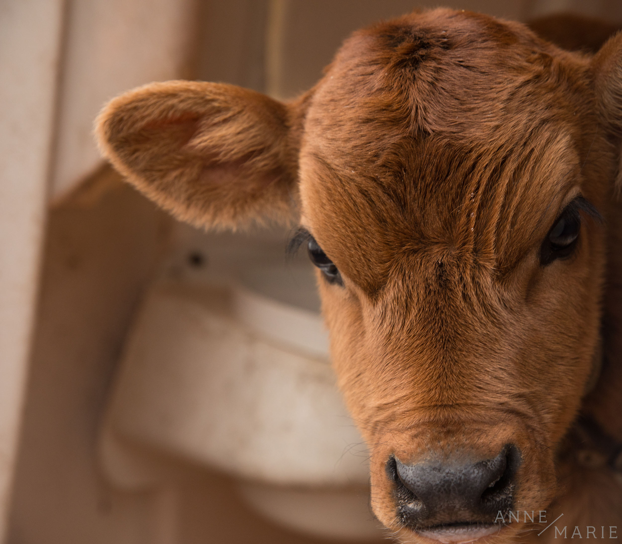 The baby cow poses for a picture.