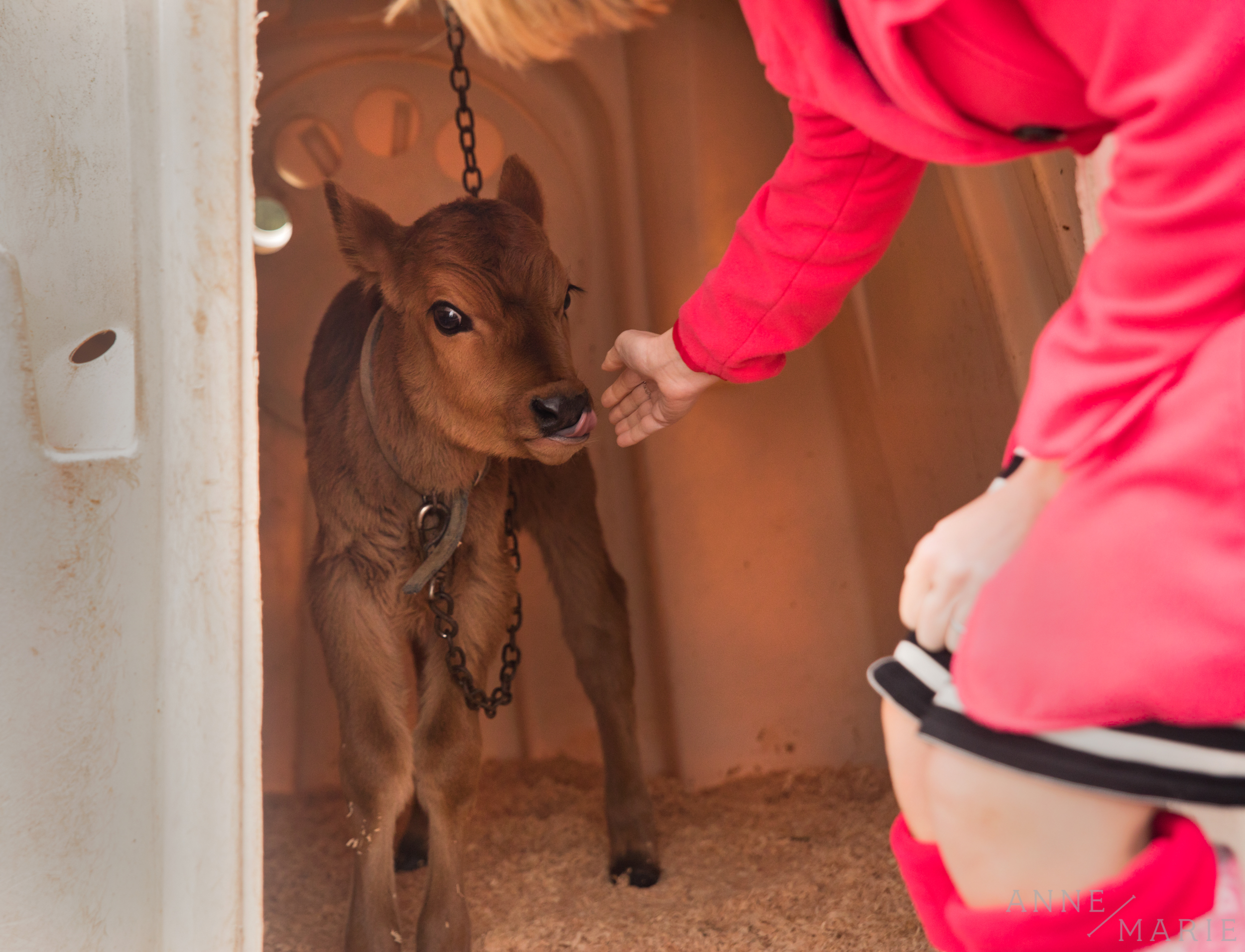Anne-Marie pets a baby cow. This cow was about two weeks old. The baby cows live in little igloos until they are old enough to join the herd.