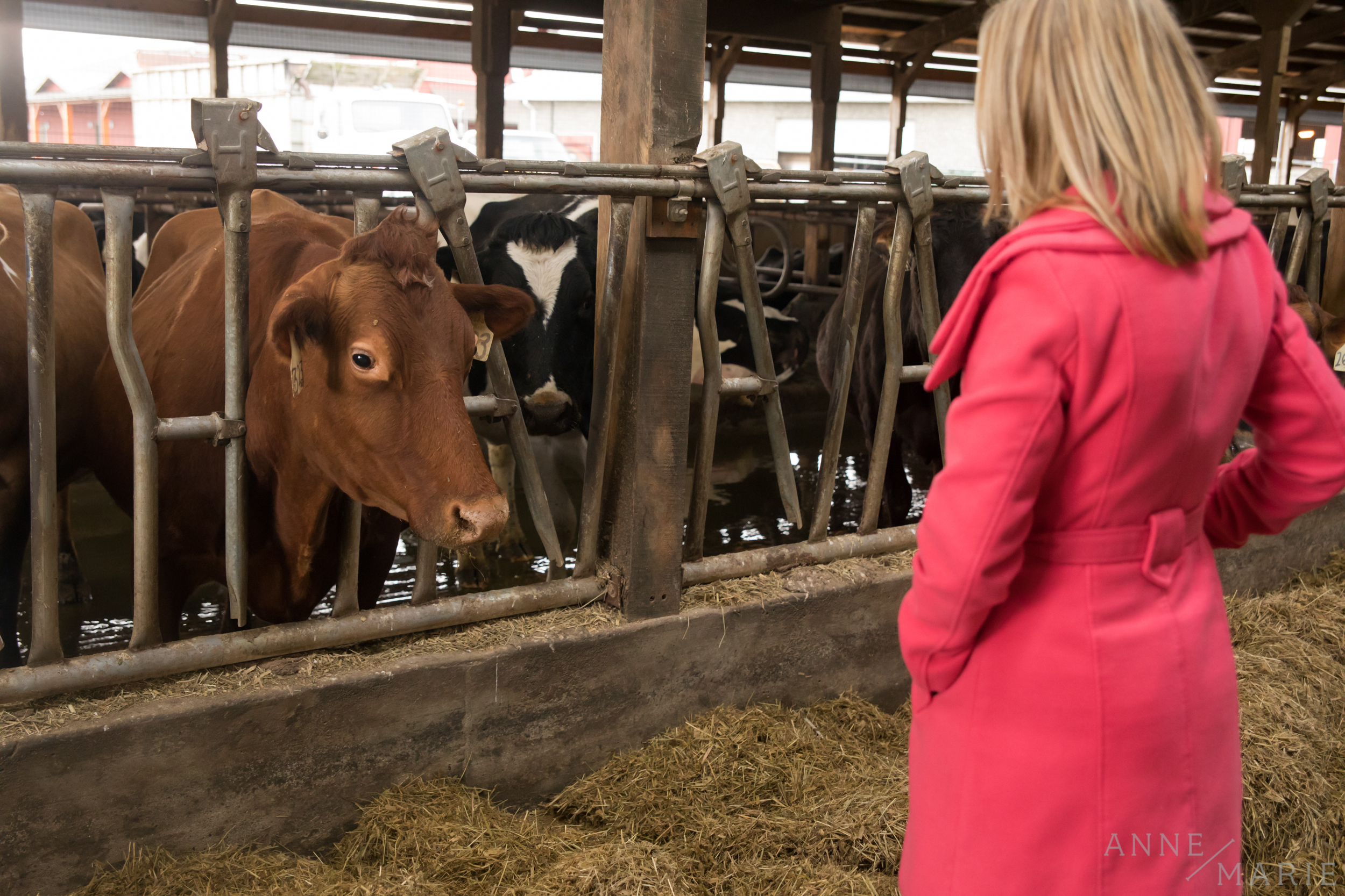 Anne-Marie looks at her favorite Guernsey cow.