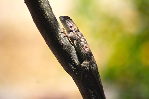 Lizard Branch