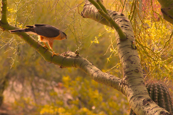 Morning Hawk