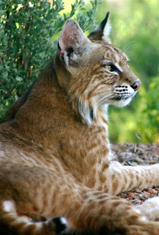 Regal Bobcat