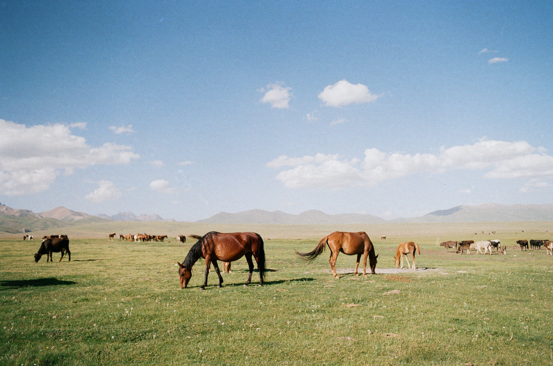 Herd of my hosting family at a yurt camp. Naryn Region