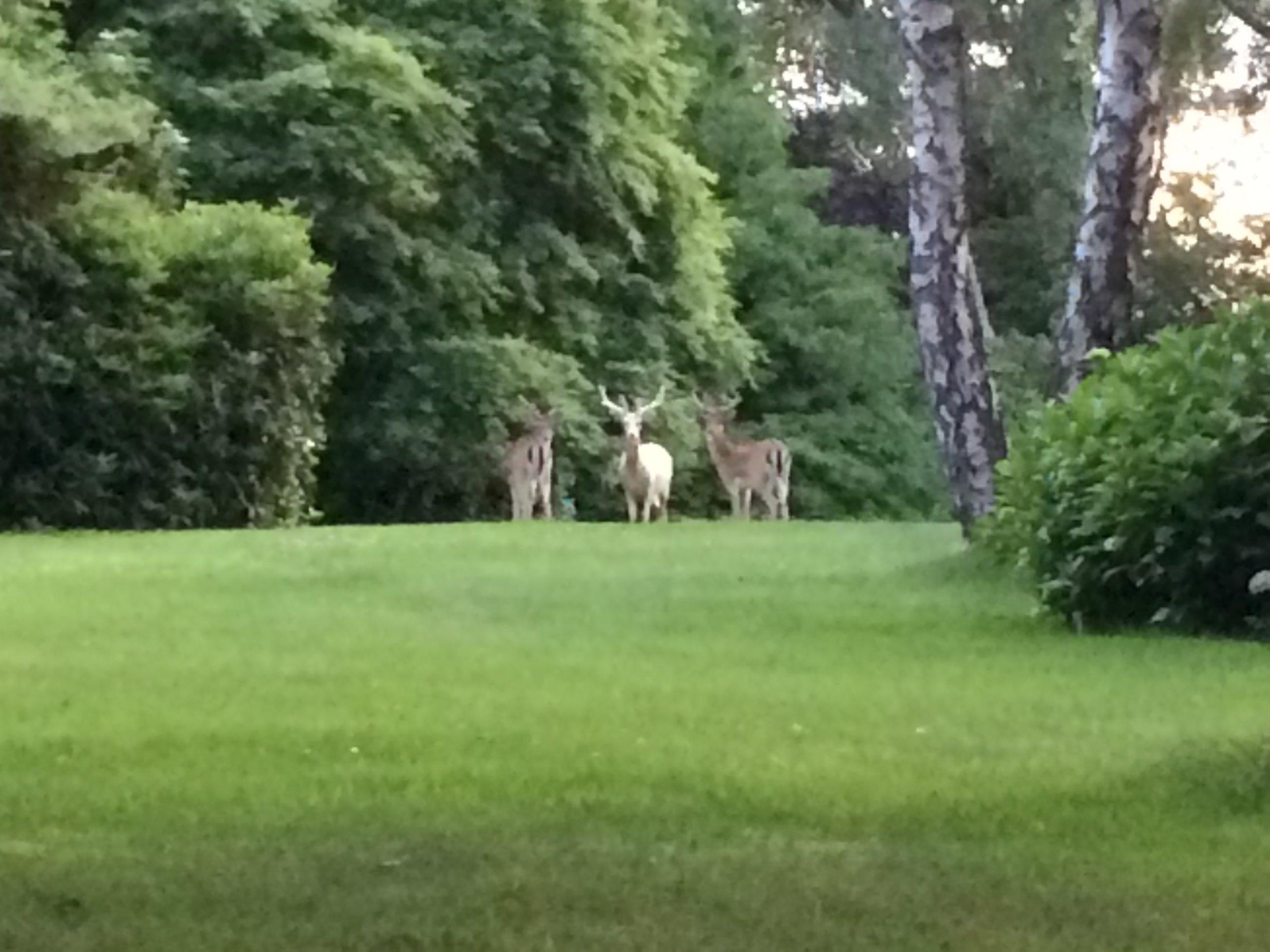 HS2 Deer.jpg