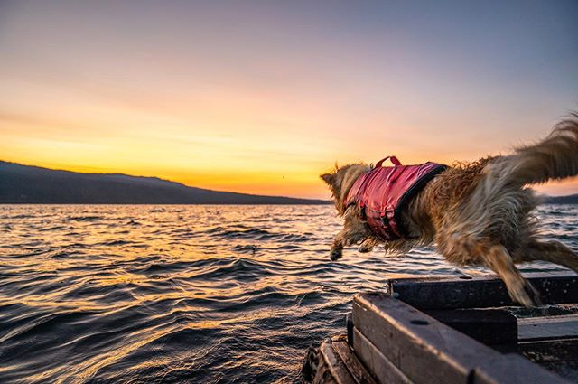 "Lucy ""was"" scared to jump in like this a week ago🤷‍♂️ #dockdog . ......... When we got our paddle boards Lucy would hug the beach when swimming and would cry when we paddled too far away. After getting her life vest she swims farther and longer and we do feel safer knowing she has the life vest incase something happens to her. Now she just climbs onto the board and cries when Katharine is too far away 🤷‍♂️. . . . . . . . . . . #goldenretriever #goldenretrieverpuppy #goldenretrieversofinstagram #goldenoftheday #dogsofinstagram #dogsofinsta #adventure #adventuredog #adventuredognation #travel #waterdog #wetdog #vanlife #vandog #travato #kurgotogether #travato59g #winnebagolife #rvlife #puppy #puppiesofinstagram #picoftheday #photooftheday #insta #adventureawaits"