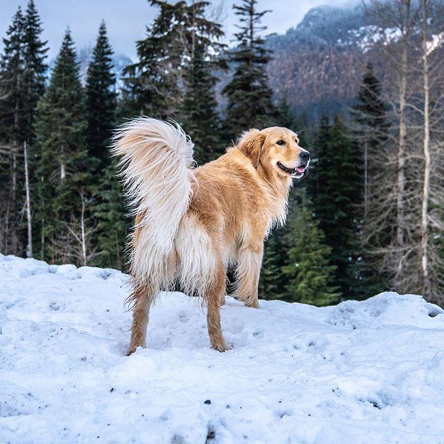 Anyone else looking forward to winter? ❄️ 🤷♂️..... nope just me 🙈. #winterwonderland . . . . . . . We love summer, but the mountains look amazing during the winter 😍. #kurgotogether #snowdog #pnwonderland #seattle