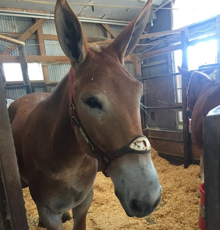 Matilda in her stall after she received a clean bill of health from a licensed veterinarian.