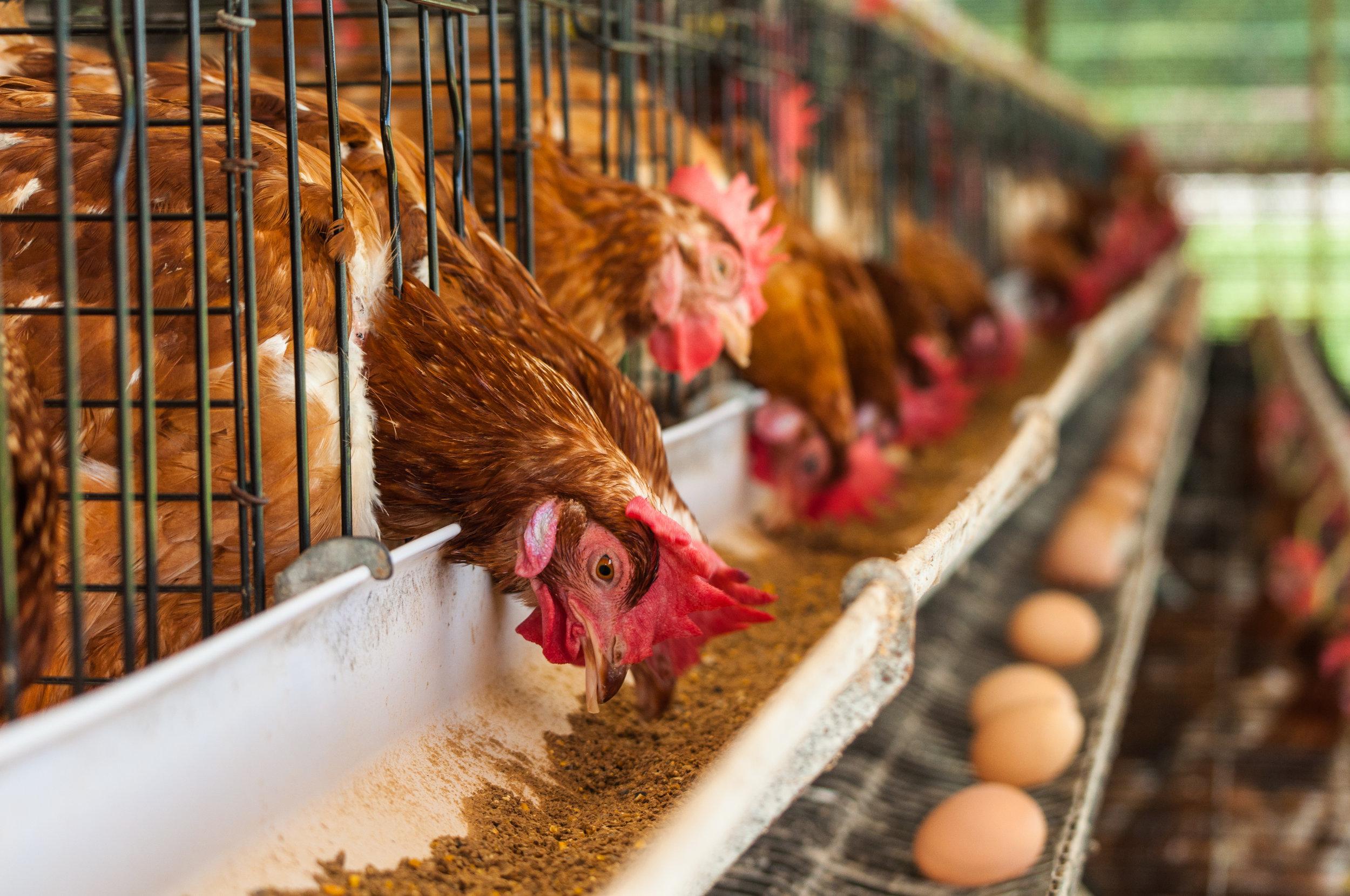 ANTIBIOTICS &FACTORY FARMS -