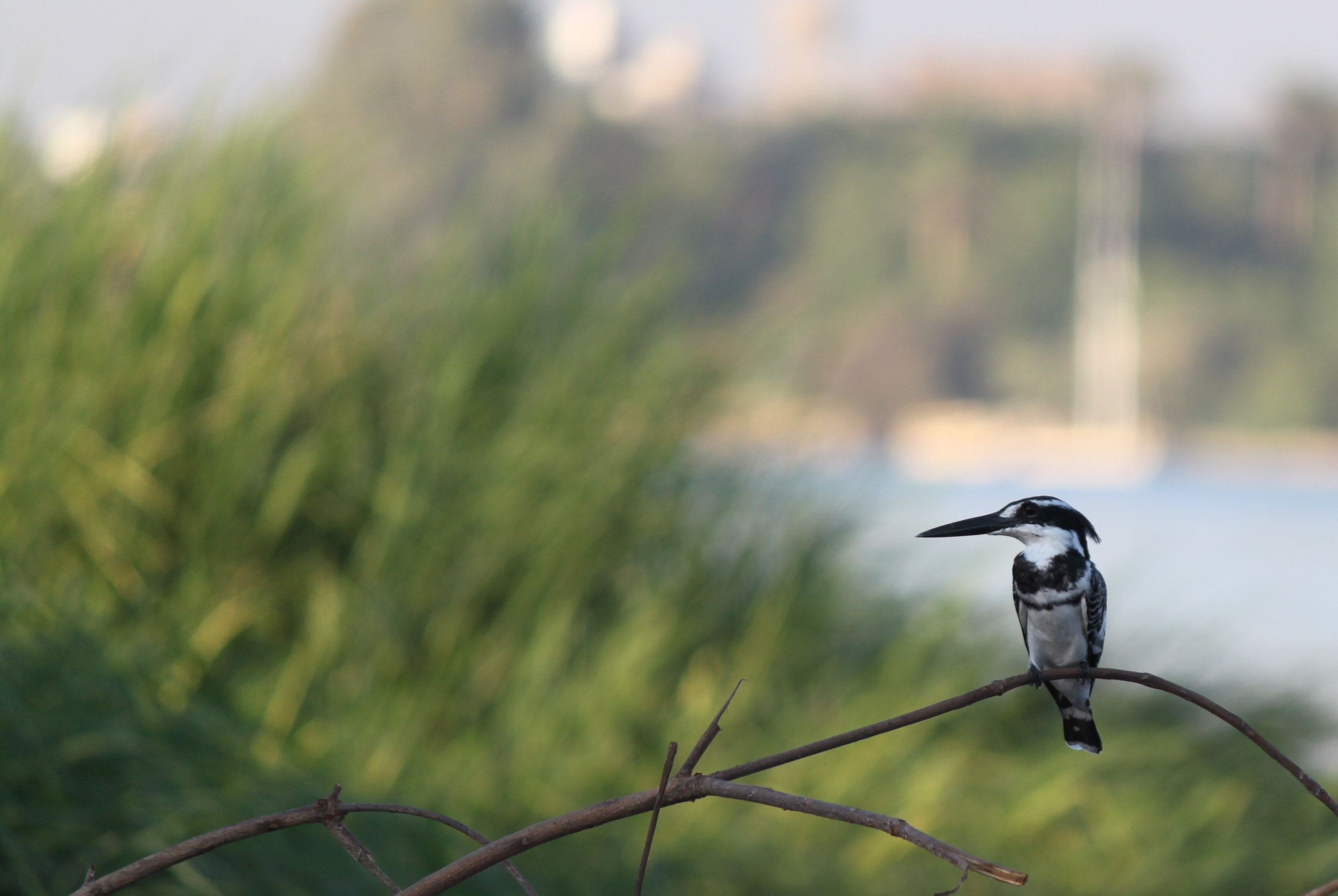 Photo from: https://commons.wikimedia.org/wiki/File:Pied_Kingfisher_in_Egypt.jpg