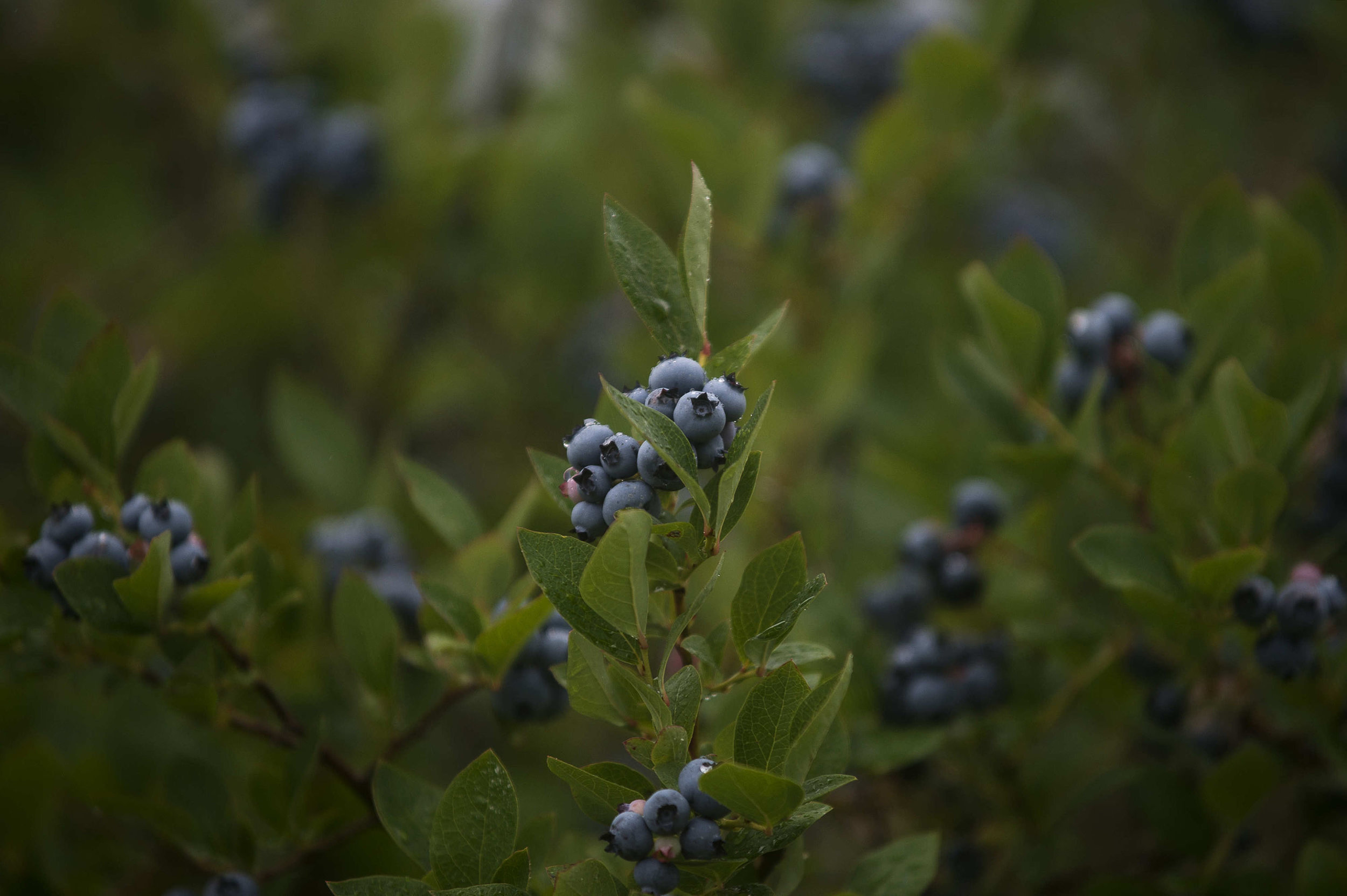 Blueberry Farms_032.jpg