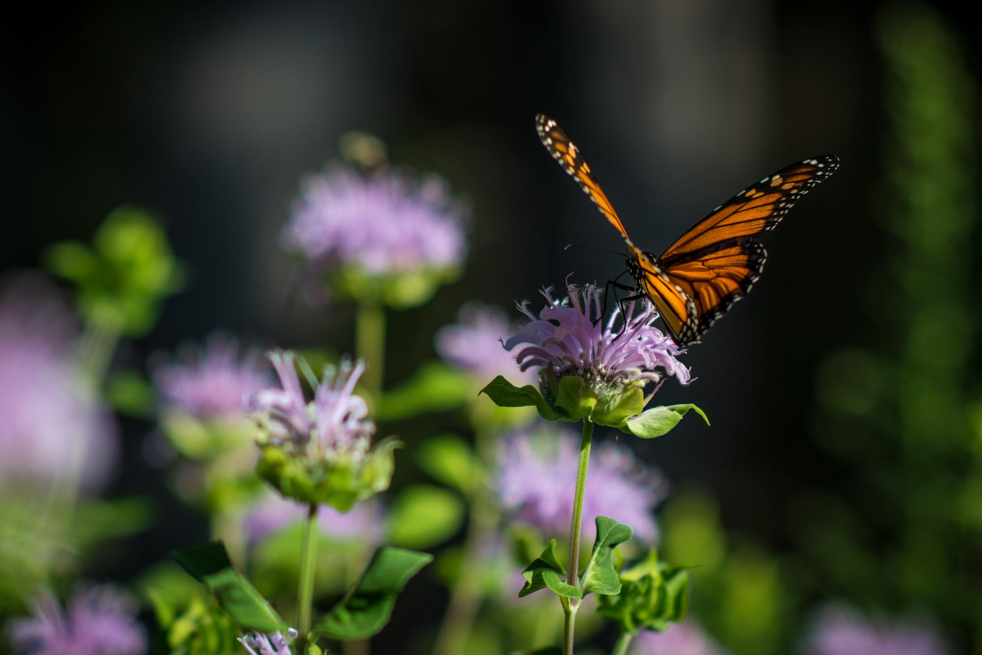 Monarch Butterfly on Wild Bergamot, David Newsom Photography
