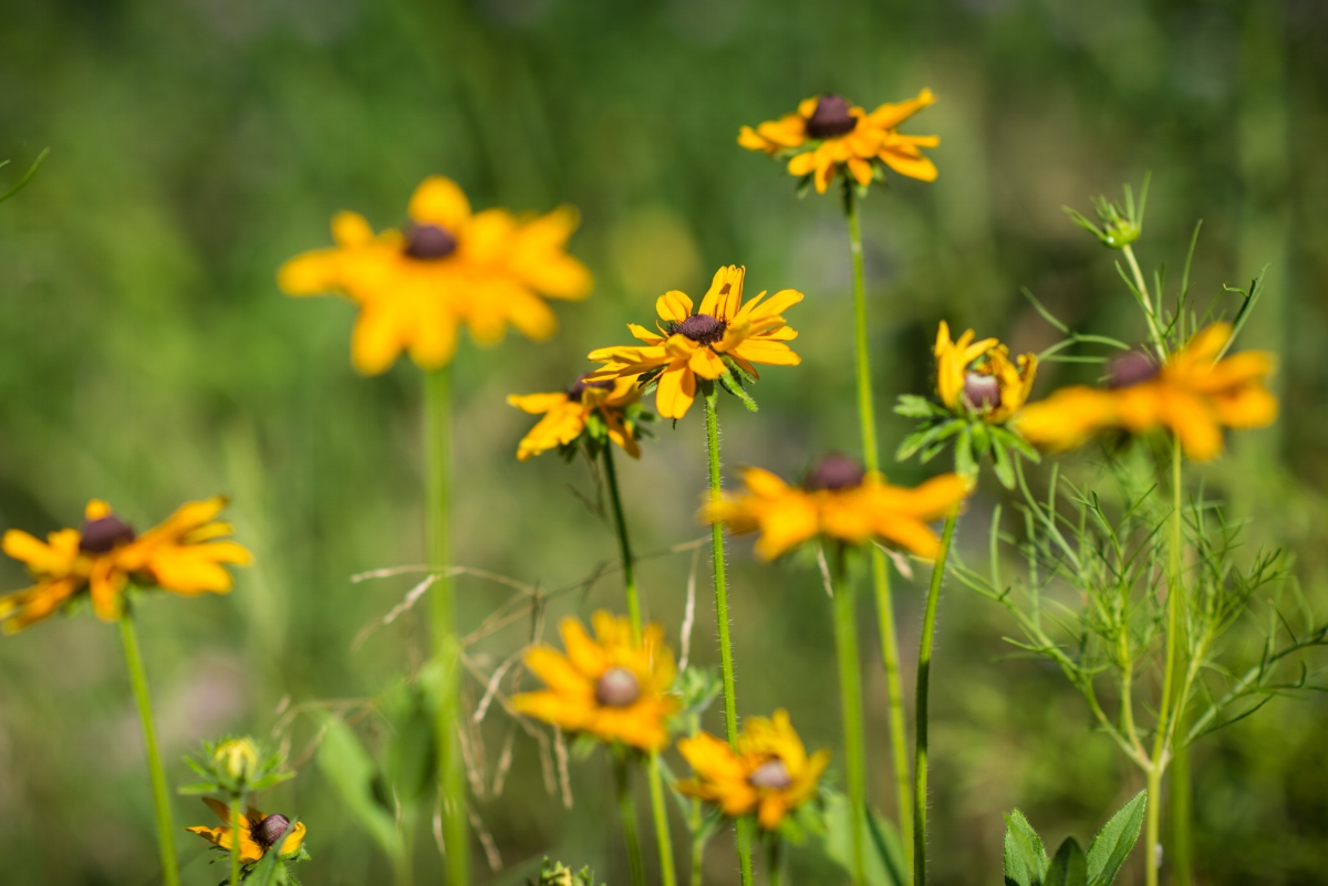 Brown Eyed Susan (Rudbekia triloba), David Newsom Photography