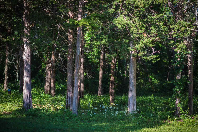 Red cedar, David Newsom Photography