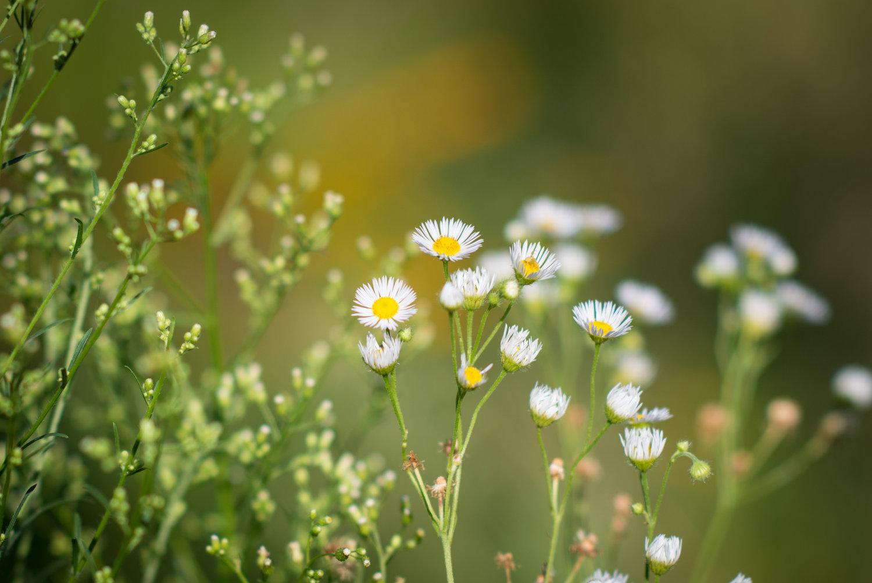 White Wood Aster (Heliopsis helianthoides), David Newsom Photography