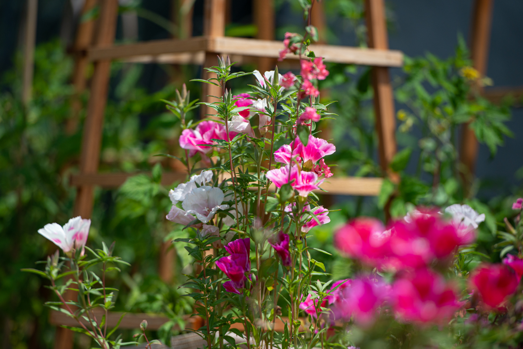 Clarkia Amoena and Bush Lupines exploding around a series of tomato towers
