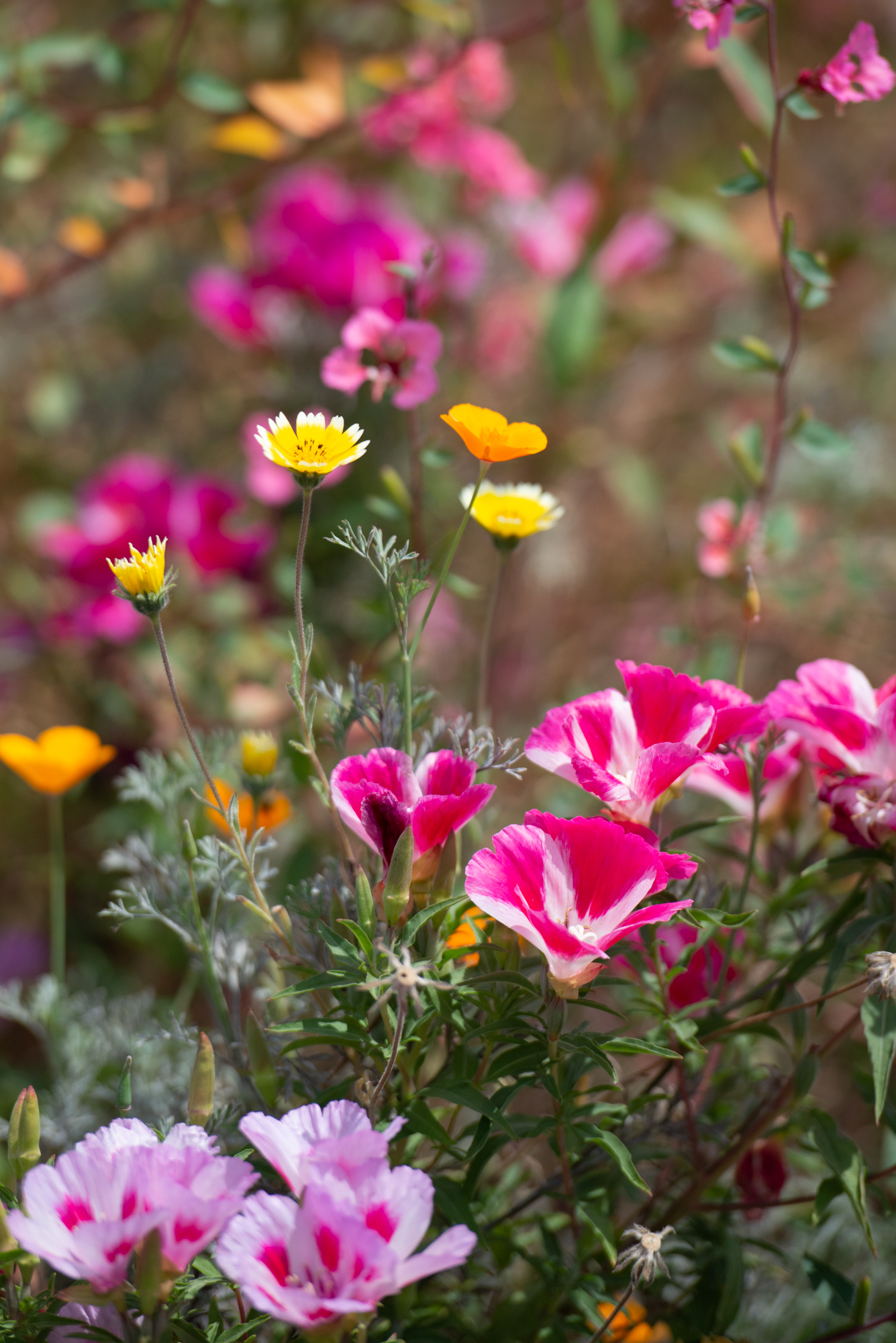 Clarkia, California Poppies, Tidy-Tips border the Parking Strip Vegetable Beds