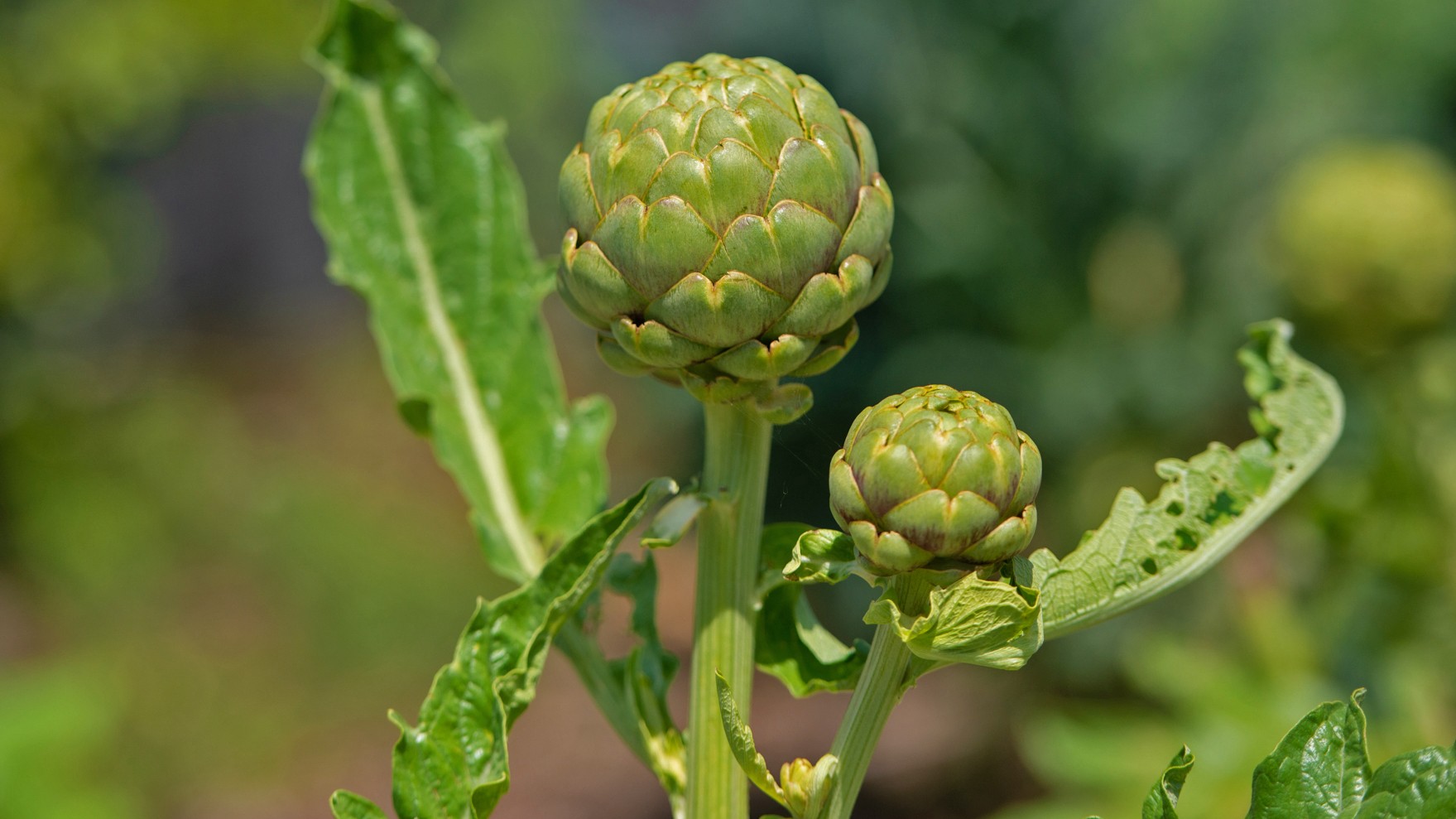 Artichokes- for food and drama- periscope throughout the beds