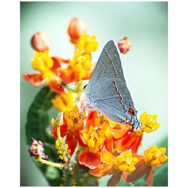 "Grey Hairstreak/Non-Native Milkweed .... Well, this is going to piss off a lot of native plant purists, but: yes, I have non-native milkweed in my yard. Ribbons of shame! The fact is, I've tried to grow native milk weed in my yard- and will again- but it fails from lack of sufficient sun. This is a holdover from a very early incarnation of my garden, and it comes back every year. As per those in the know, I cut it back aggressively in November, to about 2"" above the ground. This keeps various fungus and pathogen's from spreading, and it also keeps Monarchs from over-wintering in my yard. But my bigger concern is that we worry too much about being purists, when the goal is to create habitat. This plant is successful in my yard and is a food source not just for Monarchs but for all kinds of insects-butterflies, bees, flies and wasps. Therefore, I keep it, and I manage it. If the natives begin to thrive, it will go, but for now, habitat wins out over aesthetics. . . . #wildyardsproject #yourpropertyishabitat #createhabitat #butterflyhabitat #butterflygarden #pollinatorhabitat"