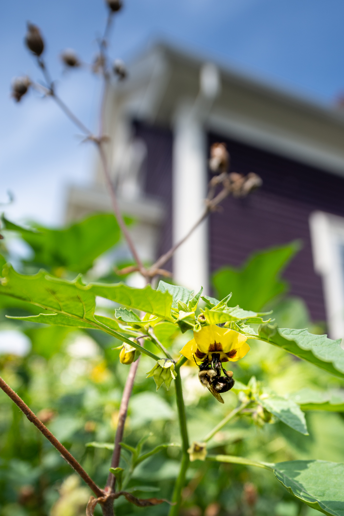A tomatillo blossom getting rapt attention from a native bumble bee in the garden of Lara Lepionka (Photo: David Newsom)