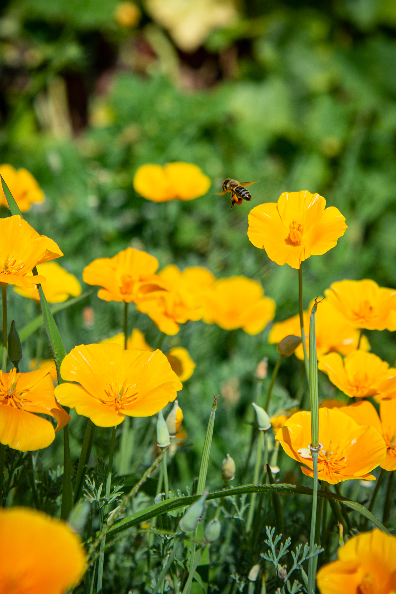California Poppies- 3500 miles to the east, and drawing pollinators like mad (Photo: David Newsom)
