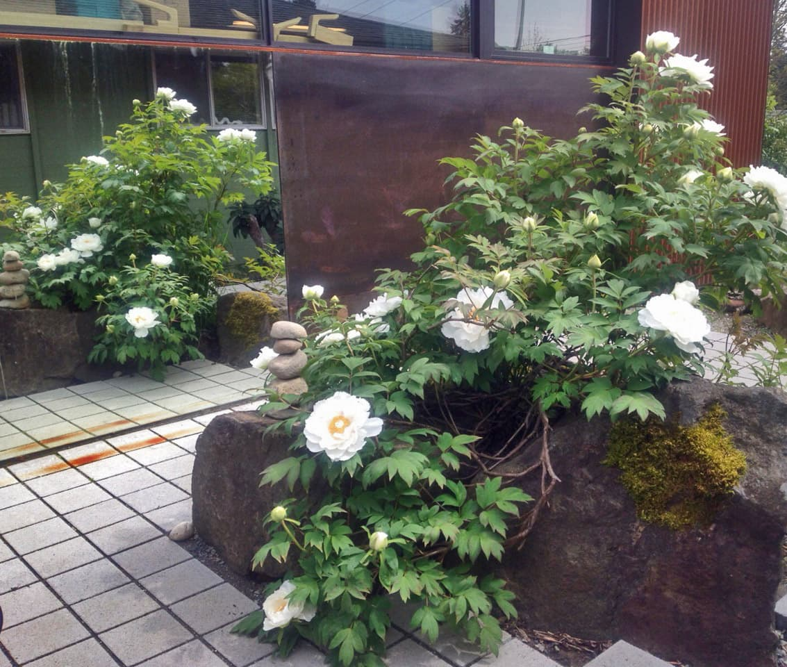 - The mirror in the garden is a simple idea that adds an element of surprise and delight to the narrow courtyard. The existing peony tree has now reached its glory center stage in the courtyard.