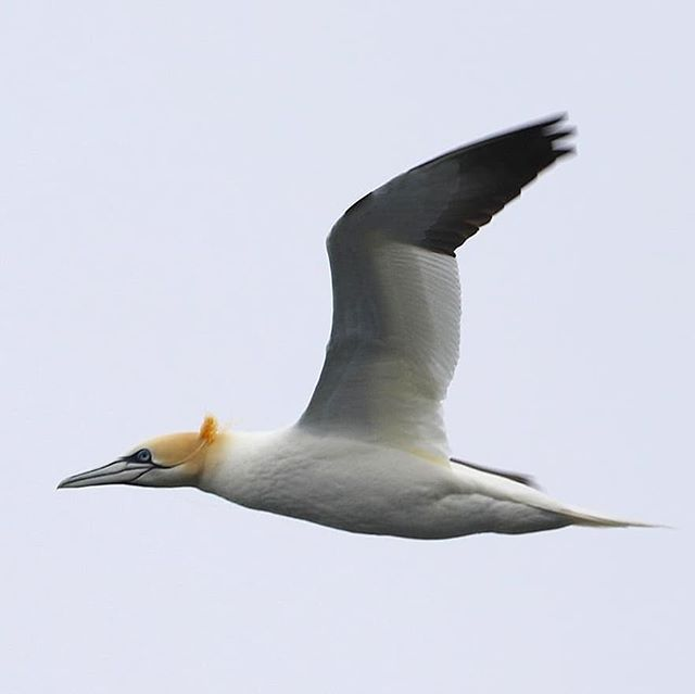 This week we were up in northern Scotland for Orca Watch week. The diversity of wildlife was incredible, and there are only a few towns dotted along the coast. Sadly, we spotted this gannet with plastic line wrapped around its head, neck and beak - yet another reminder that the human impact spreads far and wide. Plastic pollution doesn't just exist in the form of bags, bottles and toothbrushes, but discarded fishing gear is one of the largest contributors to marine mammal deaths worldwide. The same rule applies to all: clean up after yourselves! 📸 Well done to Megan @wild_sky_productions for capturing this picture.