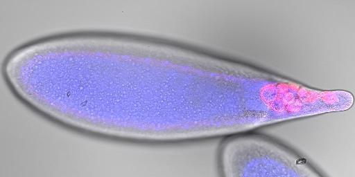 Drosophila Egg