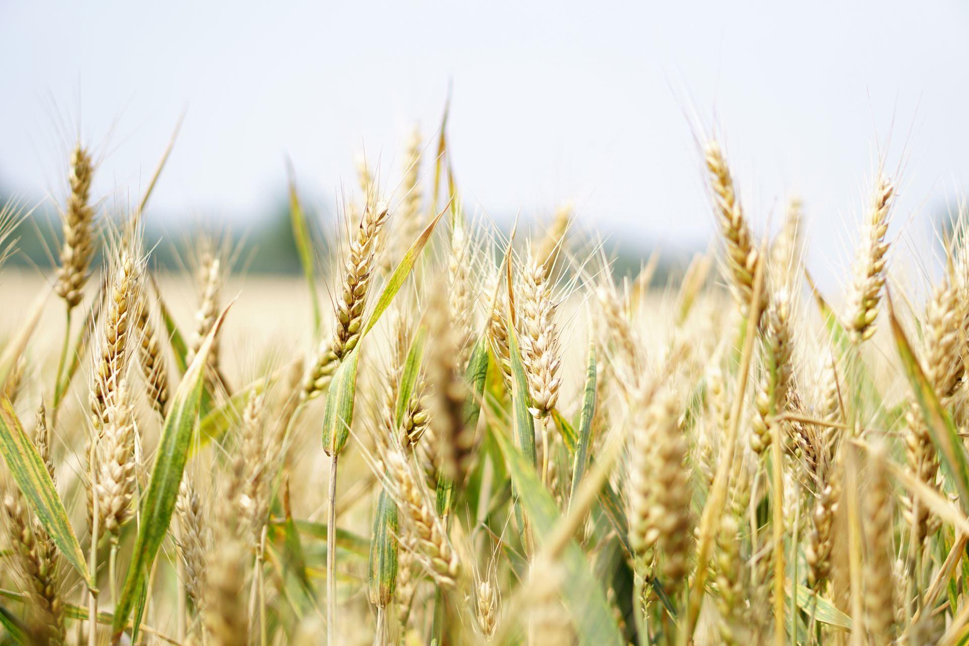 whole grain stocks farming healthy carbs