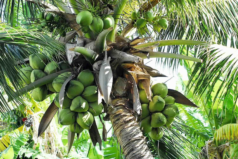 cocos nucifera tree