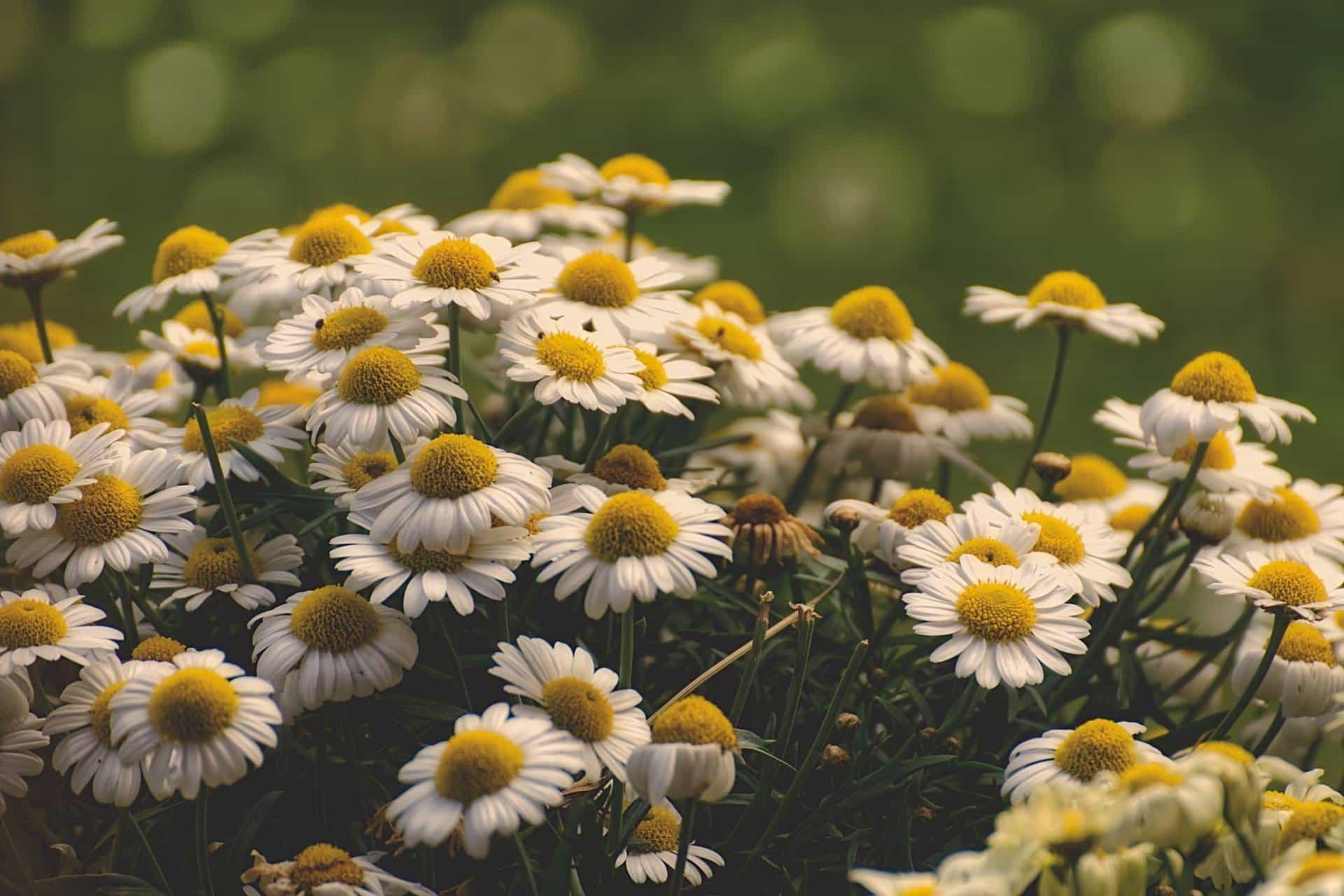 bush of blooming daisies
