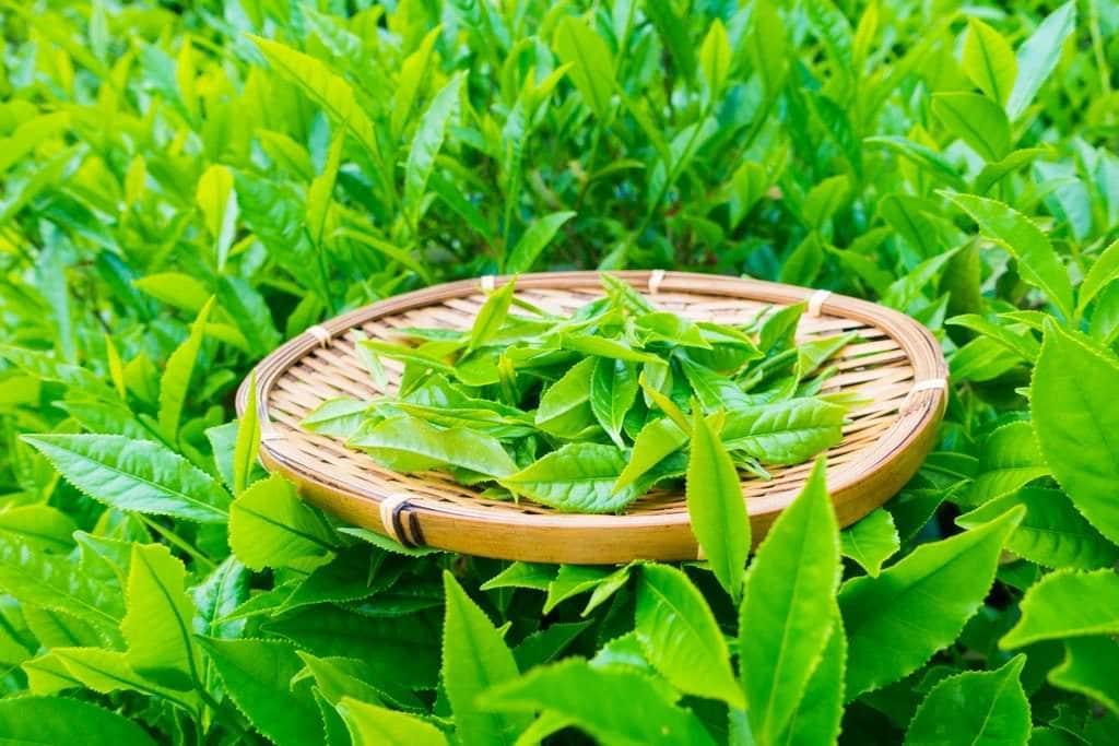 camellia sinensis leaves on basket