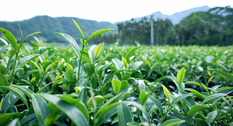 camellia sinensis plant field