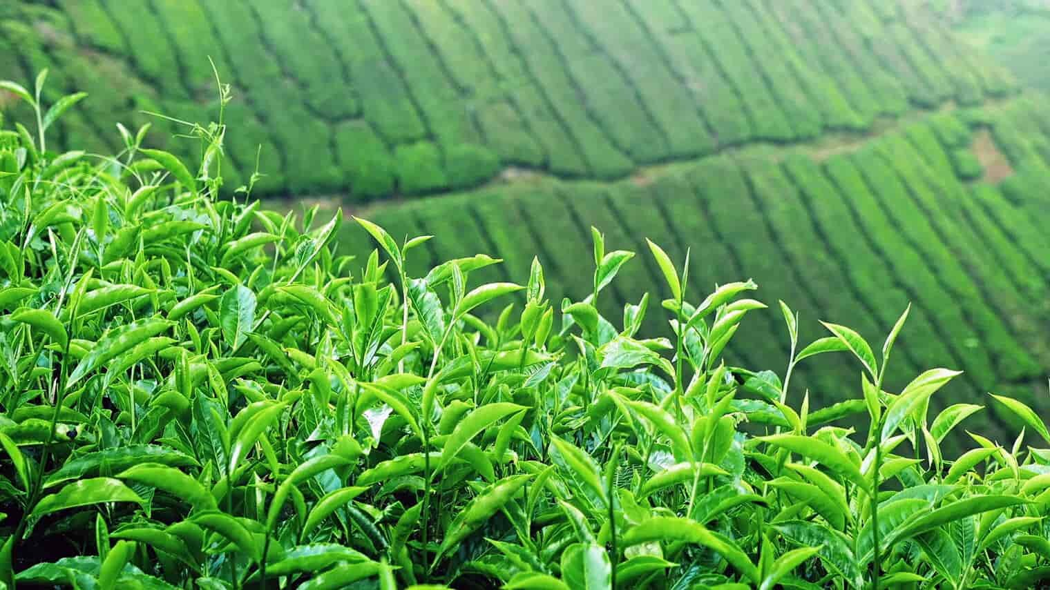 camellia sinensis plant farm